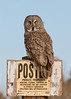 Great Gray Owl in northern Minnesota perched on a Posted Private Property Sign