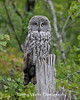 Great Gray Owl in northern Wisconsin