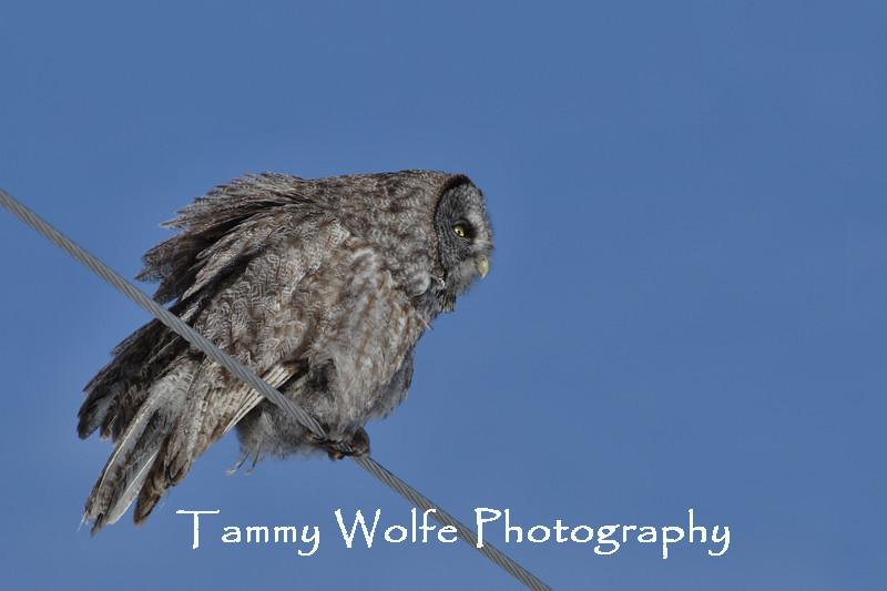 Great Gray Owl in northern Minnesota