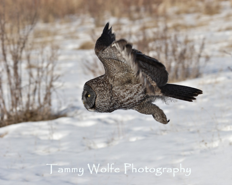 Great Gray Owl in northern Minnesota (Cropped to 8 x 10 size)