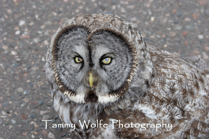 Great Gray Owl in northern Minnesota (I saw this GGO in the road. It allowed me to get very close to it. I was trying to figure out what to do about it when it suddenly flew away.)