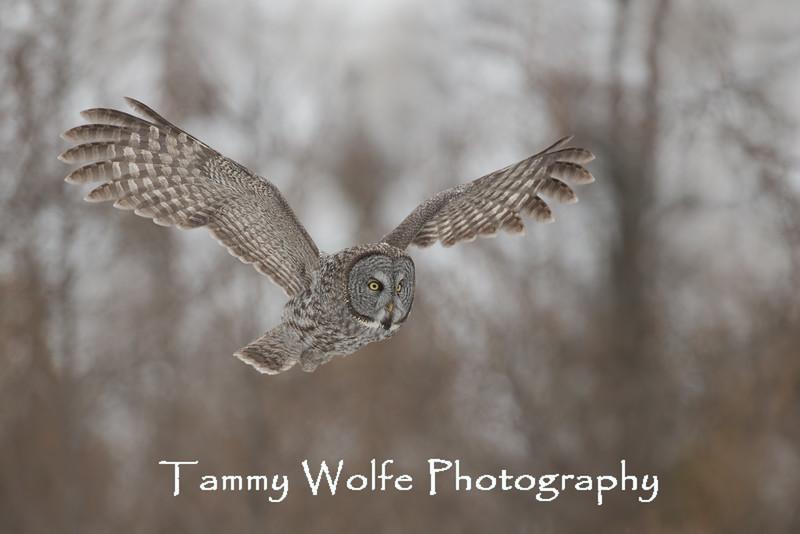Great Gray Owl (Strix nebulosa)