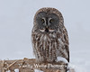 Great Gray Owl in northern Minnesota