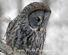 Great Gray Owl in northern Minnesota, taken during the 04-05 irruption