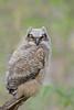 Great Horned Owl (Bubo virginianus)