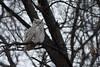 Subarctic Great Horned Owl (Bubo virginianus subarcticus)
