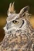 Great Horned Owl Portrait*