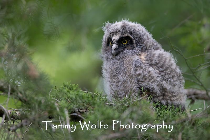 Long-eared Owl (Asio otus)