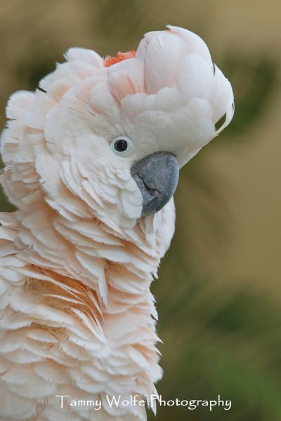 Moluccan Cockatoo (Cacatua moluccensis)