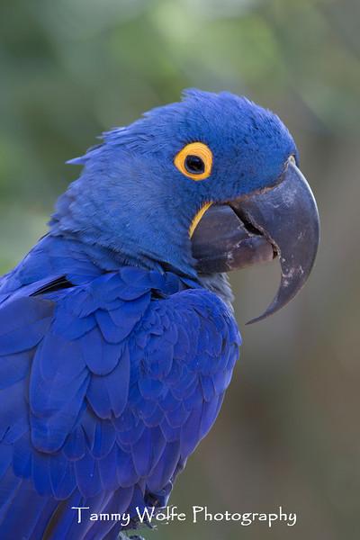 Hyacinth Macaw (Anodorhynchus hyacinthinus)*