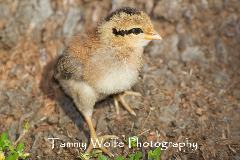 Domestic Chicken, Chick; Kauai, Hawaii