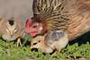 Domestic Chicken, Kauai, Hawaii