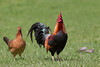 Domestic Chicken, Hen & Rooster; Kauai, Hawaii