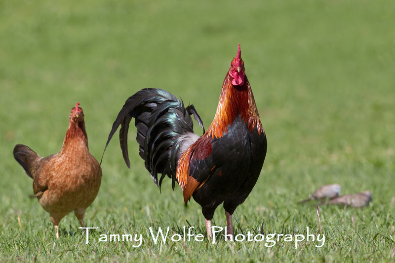 Domestic Chicken, Hen & Rooster; Kauai, Hawaii