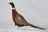 Male Ring-necked Pheasant in the Winter
