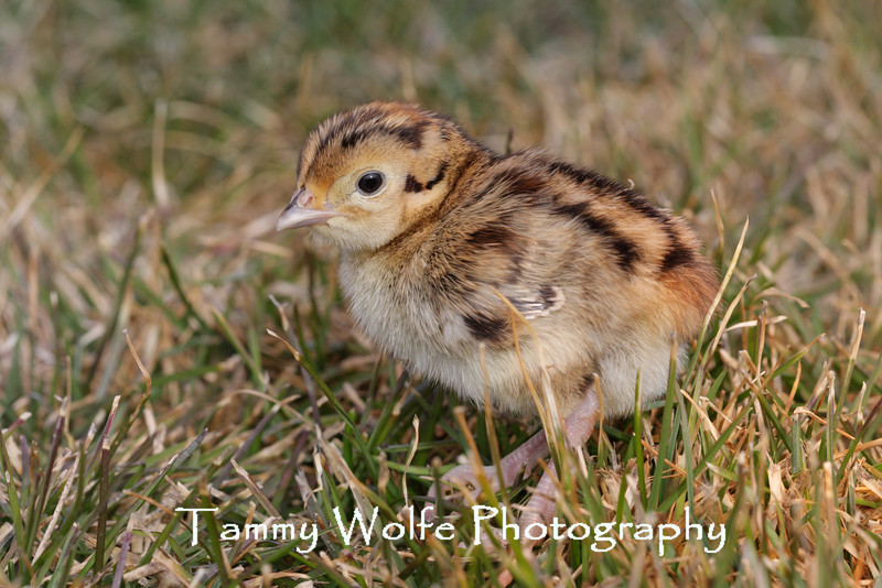 Ring-necked Pheasant Chick