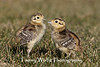 Ring-necked Pheasant Chicks