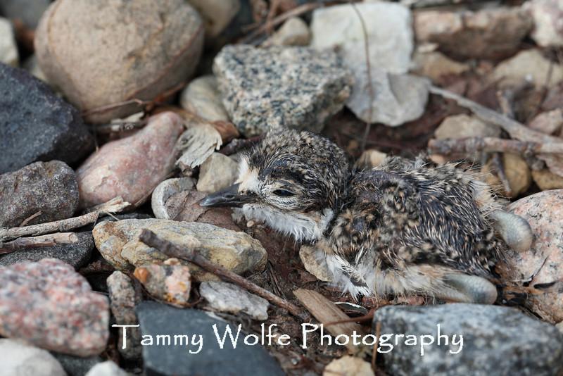 Killdeer (Charadrius vociferus) Chick, Resting after recently hatching