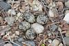 Killdeer Nest (Charadrius vociferus)