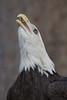 Bald Eagle (Haliaeetus leucocephalus),  Fall Raptor Release