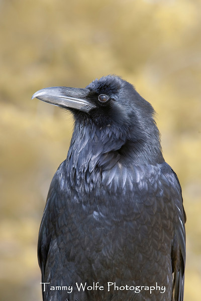 Common Raven (Corvus corax), Yellowstone National Park