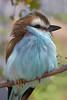 Racket-tailed Roller (Coracias spatulatus)*