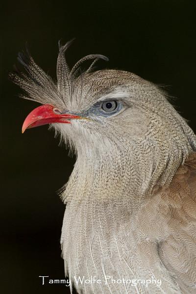 Red-legged Seriema or Crested Cariama (Cariama cristata)*