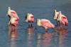Roseatte Spoonbills (Platalea ajaja)