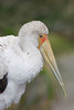 Yellow-billed Stork (Mycteria ibis)*