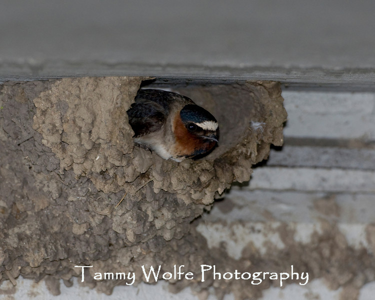 Cliff Swallow (Petrochelidon pyrrhonota) Nesting Under a Bridge