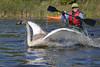 Trumpeter Swan (Cygnus buccinator) Banding: Mary Griesbach in Kayak