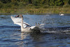 Trumpeter Swan (Cygnus buccinator) Banding