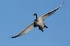 Trumpeter Swan (Cygnus buccinator), Cygnet Flying