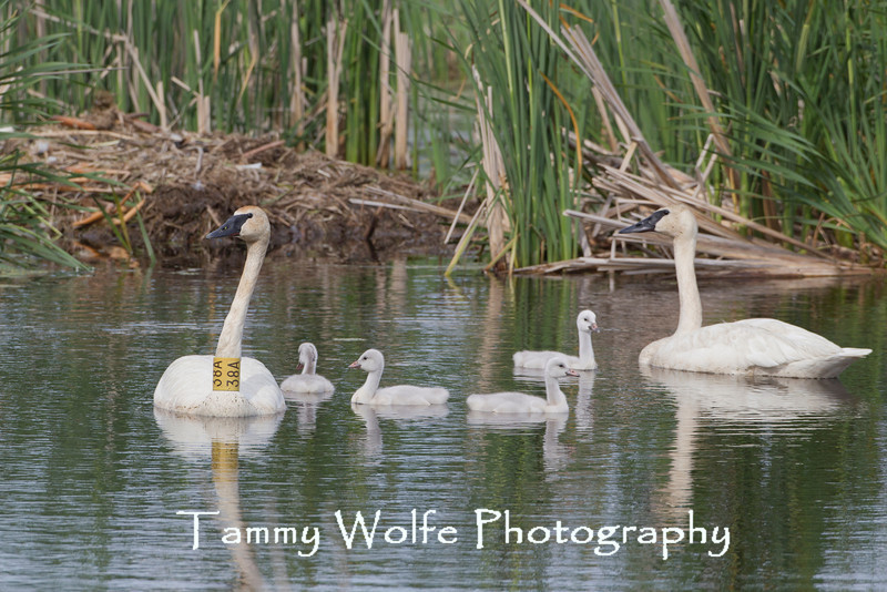 Trumpeter Swan (Cygnus buccinator), Pen and Cob with cygnets