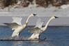 Trumpeter Swan (Cygnus buccinator), Synchronized Landing