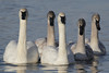 Trumpeter Swan (Cygnus buccinator) Family, Adult pair with three cygnets