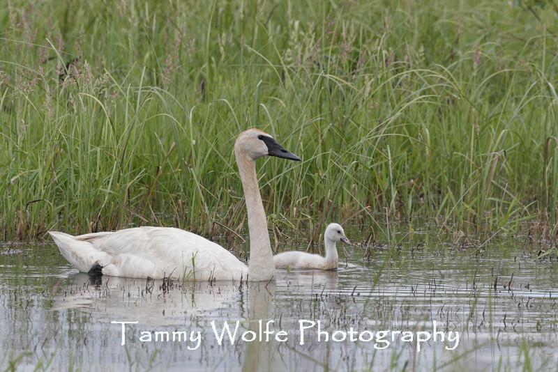 Trumpeter Swan (Cygnus buccinator), Adult with Cygnet