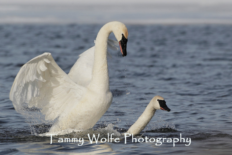 A pair of Trumpeter Swans (Cygnus buccinator) Mating