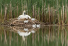 Trumpeter Swan (Cygnus buccinator), Pen on the nest with cygnets