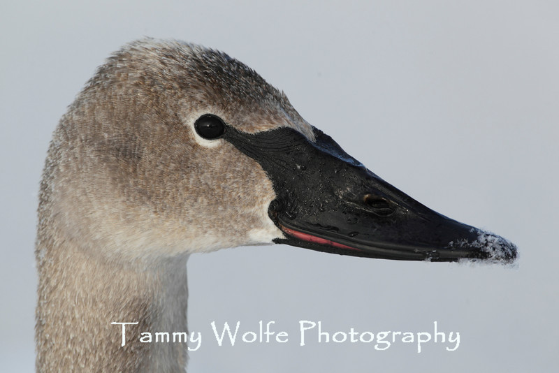 Close-up of Trumpeter Swan (Cygnus buccinator), Cygnet's head