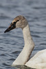 Trumpeter Swan (Cygnus buccinator), Cygnet with Crooked Neck