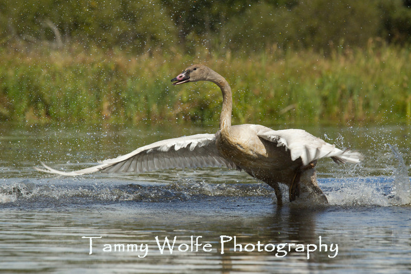 Trumpeter Swan (Cygnus buccinator), Cygnet trying to fly