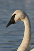 Trumpeter Swan (Cygnus buccinator) with unusual growth under its bill
