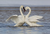 A bonded pair of Trumpeter Swans (Cygnus buccinator)