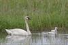 Trumpeter Swan (Cygnus buccinator) with Cygnets