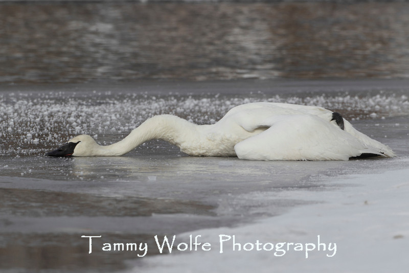Dead Trumpeter Swan (Cygnus buccinator) (Most likely from Lead poisoning)