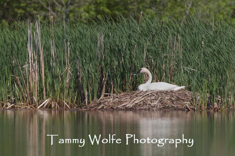 Nesting Trumpeter Swan (Cygnus buccinator)