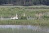 Trumpeter Swan (Cygnus buccinator), Crex Meadows