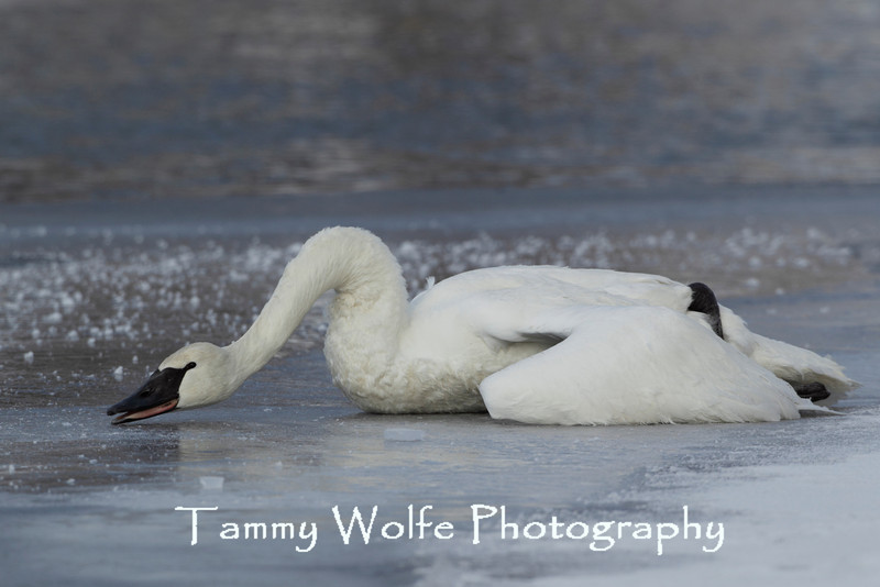 Trumpeter Swan (Cygnus buccinator) Dying (Most likely from Lead poisoning)