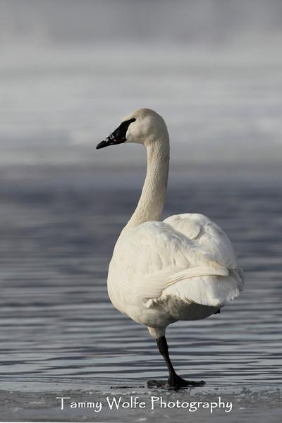 Trumpeter Swan (Cygnus buccinator) Standing on One Leg
